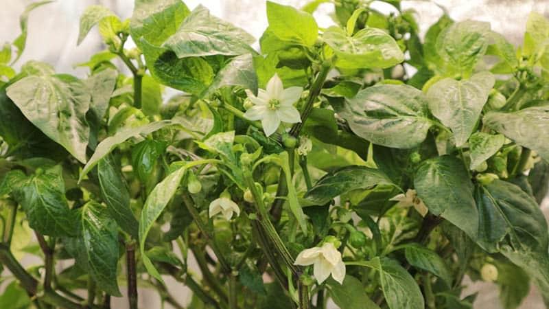 White Flowers on Pepper plant